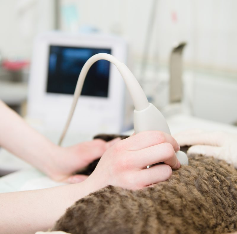 : A close-up image of a veterinarian performing an ultrasound scan on a cat.